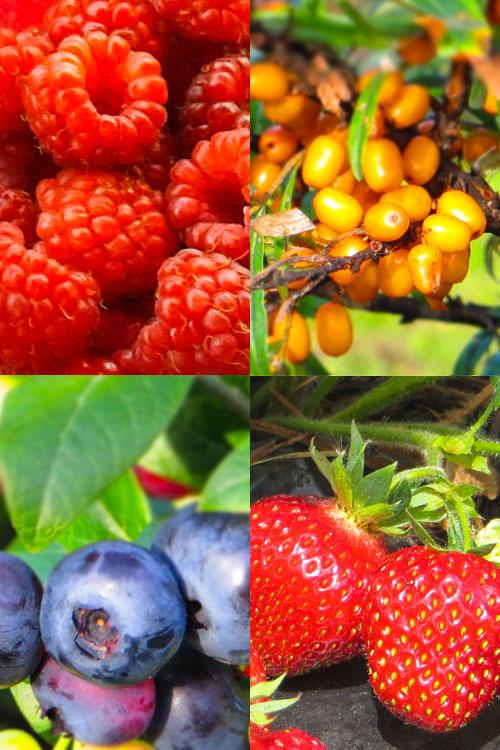 Vattua, tyrniä, pensasmustikkaa ja mansikkaa.
